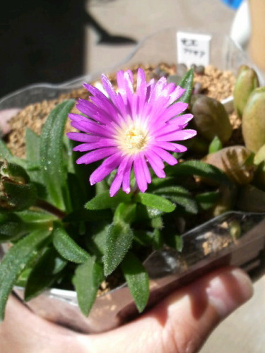 1沙座蘭の花