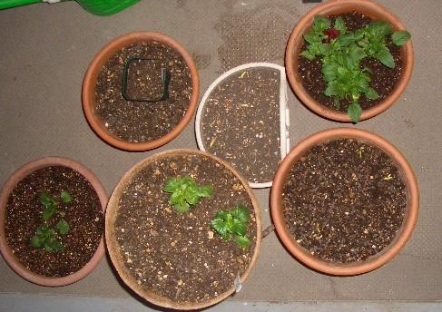 あまり球根と苗を植え込み!