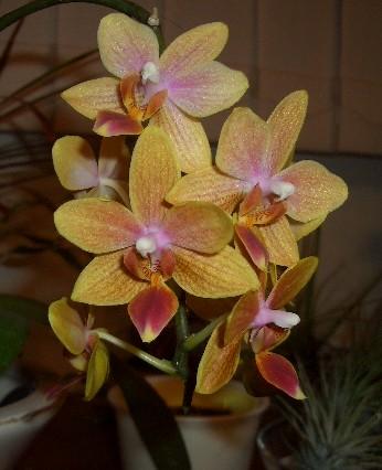いつまで咲くのかミニ胡蝶蘭