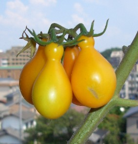 ひょうたんミニトマト