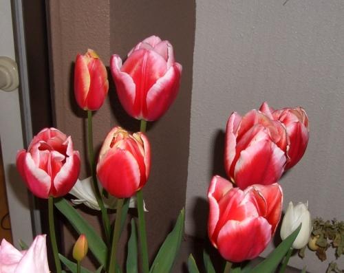 まだ咲いているチューリップ
