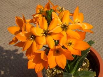 オーニソガラム・ドビュウムの花