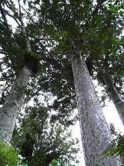 カウリの大木