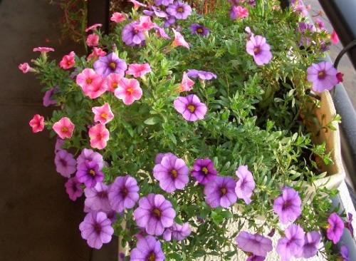 カリブラコアの花