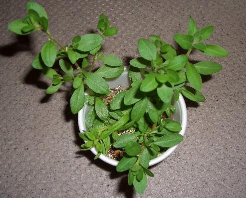 カリブラコア挿し芽