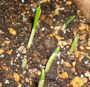 スノードロップの芽