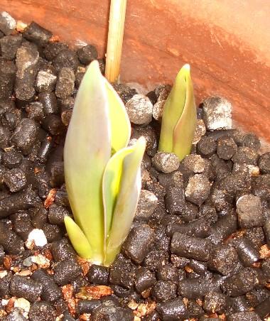 チューリップらしい芽が出てきたよ~