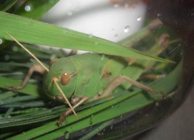 トノサマバッタ(?)の幼虫