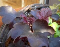 ヒューケラにおそらく花芽