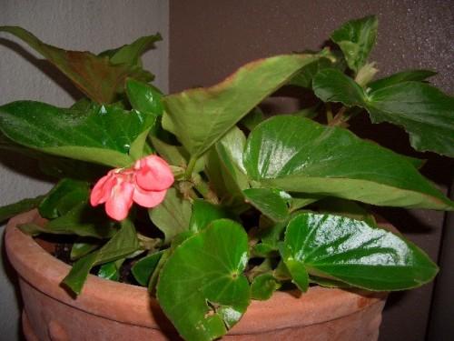 ベコニア「ドラゴンウイング」 最初の花