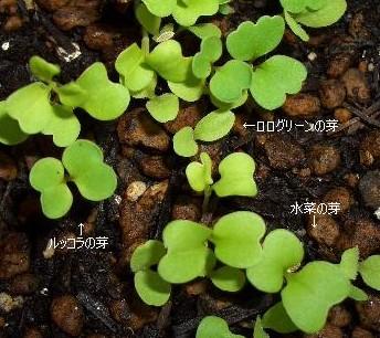 ベビーリーフの芽