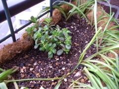 ポーチェラカを植え込みました