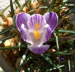 ミズゴケ栽培クロッカス開花