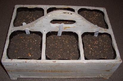 ミニチューリップ6種類ポット植え