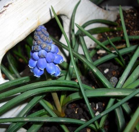 ムスカリ「ブルーパール」開花♪