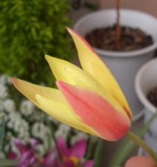 レディスマイル開花
