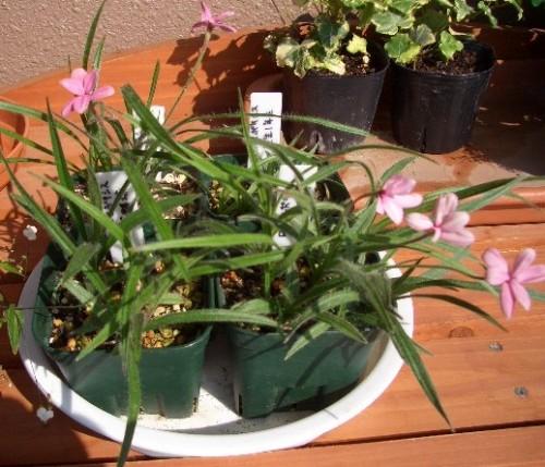 ロードヒポキシスまだまだ花咲いてます