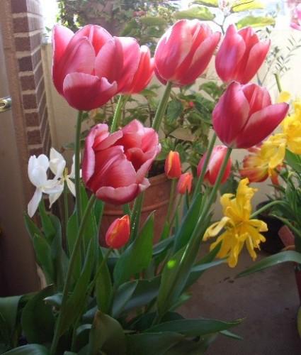 冬に咲くチューリップ114日目