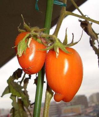 冬のイタリアントマト