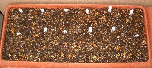 原種チューリップ10種まとめて植え付け