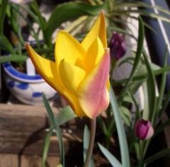 原種チューリップ クリサンサ開花