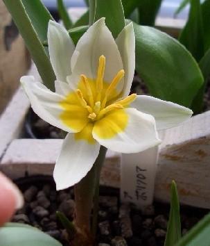 原種チューリップ ポリクロマ開花