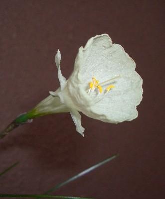 原種系スイセン バルボコまだ咲いてます♪