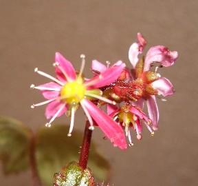 大文字草らしい花