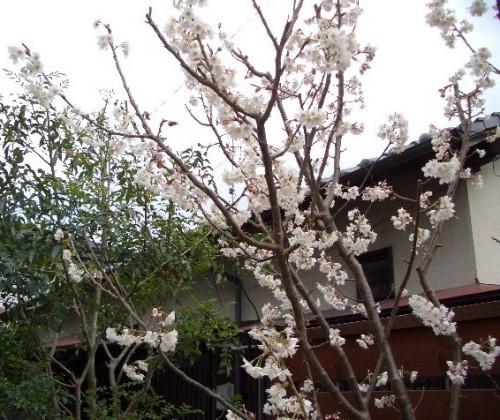 実家の桜桃満開