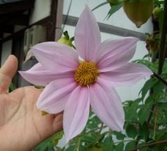 手に取れる皇帝ダリアの花