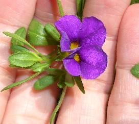 挿し芽カリブラコアに花が咲きました