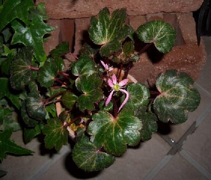 斑入り葉赤花大文字草です