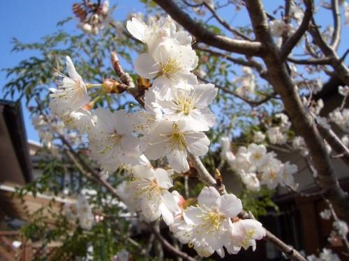 暖地桜桃満開
