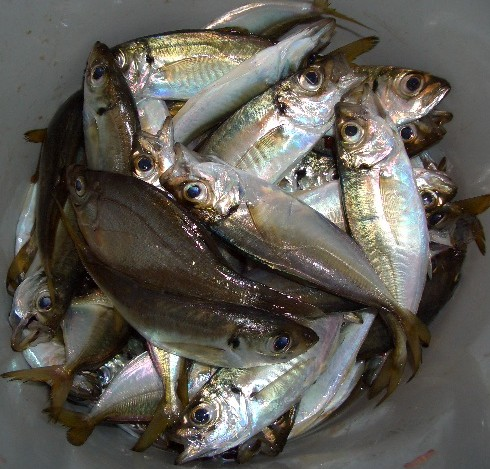 本日の釣果 小アジ52匹+ウミタナゴ1匹
