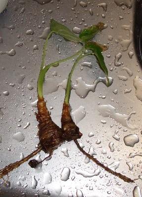 瀕死の島クワズイモ