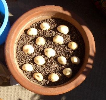 真冬のチューリップ植え付け中