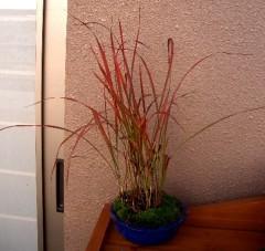 秋の紅チガヤ