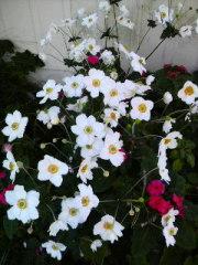 秋明菊満開!