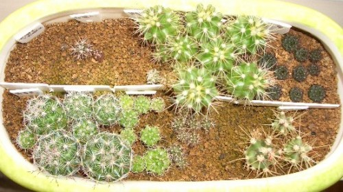 種からサボテン2006第3弾組 9ヶ月