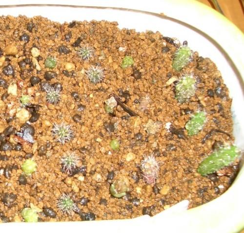 種からサボテン2007半年その2