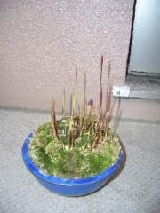 紅チガヤ草刈