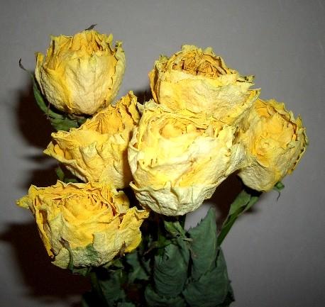 黄薔薇のドライフラワー