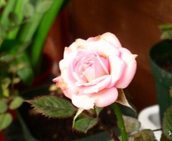 ピンクのミニバラ♪